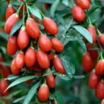 תותי גוג'י ברי טריים על העץ